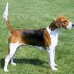 english_foxhound