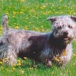 glen_of_imaal_terrier